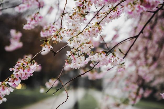 Flores rosa desabrochando