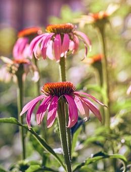 Flores rosa echinacea no jardim.