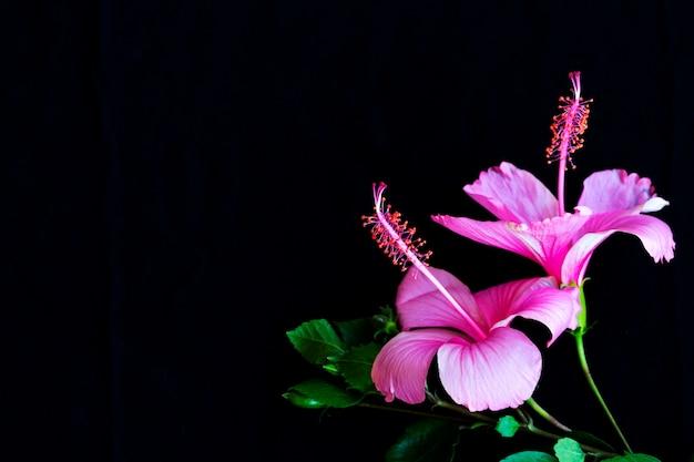 Flores rosa hibisco arranjo plano plano cartão postal em preto