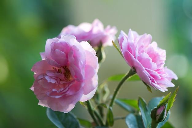 Flores rosa retroiluminadas do damasco na superfície natural.