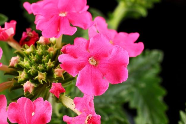 Flores rosa verbena close-up