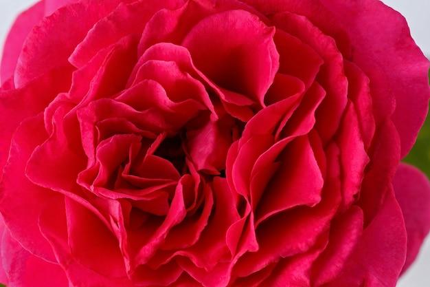 Flores rosas desabrochando. planta perene em um fundo branco.