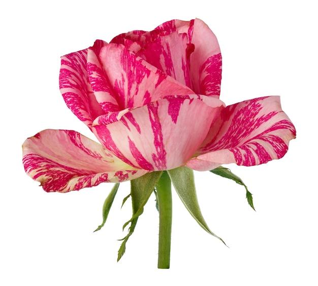 Flores rosas desabrochando. planta perene isolada na superfície branca.