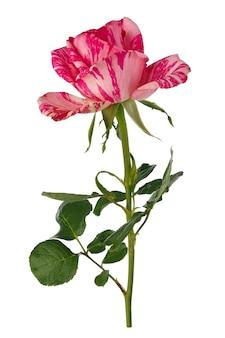 Flores rosas desabrochando. planta perene isolada no branco
