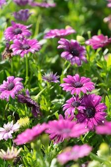 Flores roxas da margarida no jardim. foco seletivo.