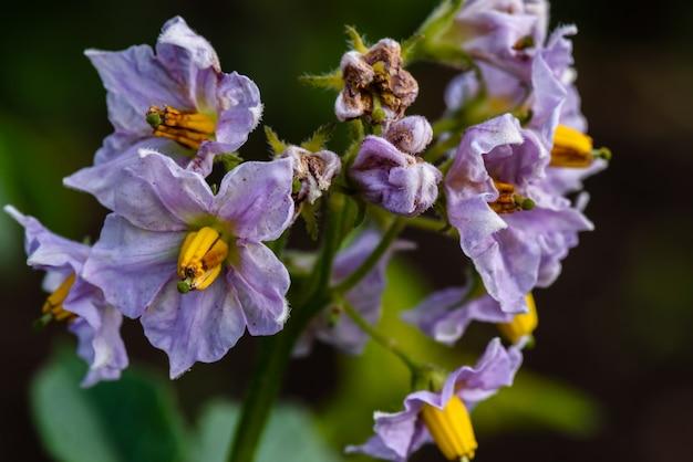 Flores roxas da planta de batata
