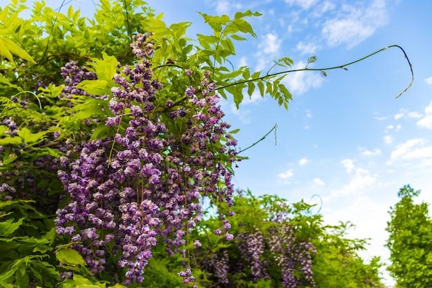 Flores roxas da wistaria fecham na primavera