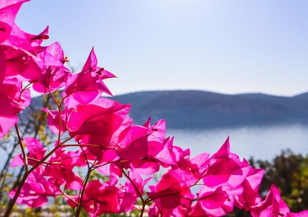 Flores roxas de buganvílias no fundo do mar e da ilha