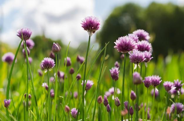 Flores roxas de cebola verde contra um céu azul