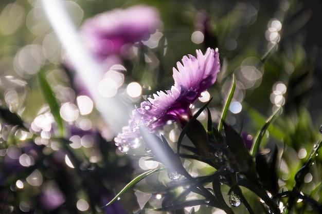 Flores roxas de cravo com pingos de chuva no raio de sol iluminando o fundo do bokeh bonito