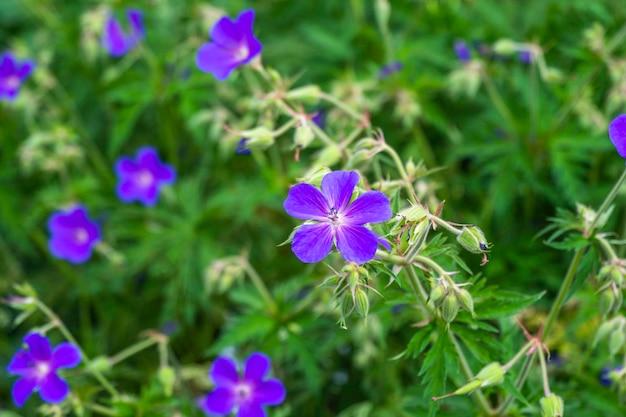 Flores roxas de gerânio violeta desabrochando no jardim
