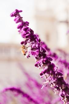 Flores roxas de lavanda e abelha