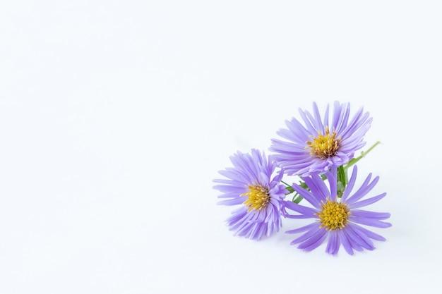 Flores roxas de margarida em um fundo claro