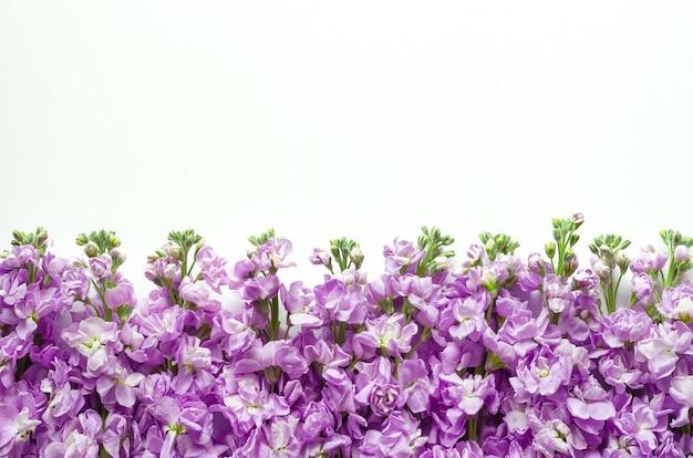 Flores roxas de matthiola incana