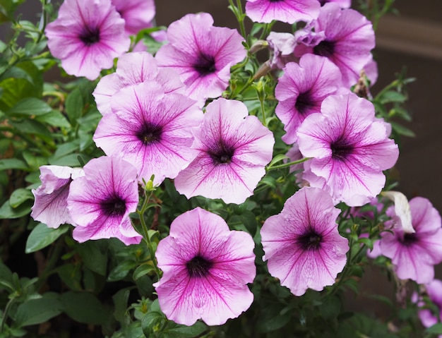 Flores roxas de petúnia