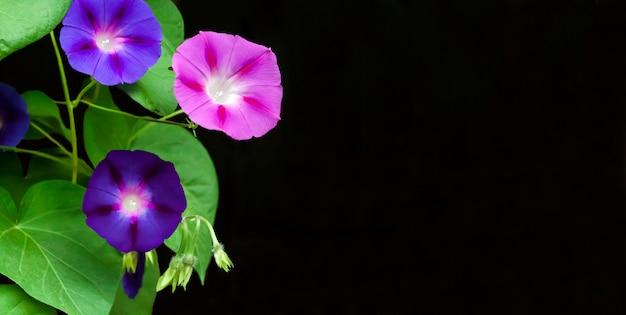 Flores roxas e azuis da corriola (ipomoea) isoladas na superfície preta