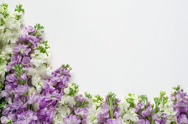Flores roxas e brancas de matthiola incana