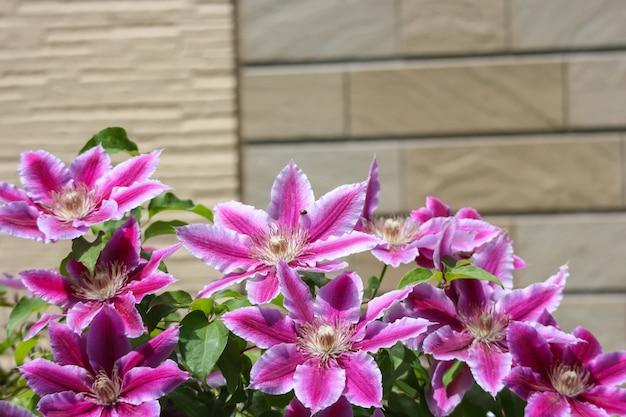 Flores roxas lilly na frente da casa