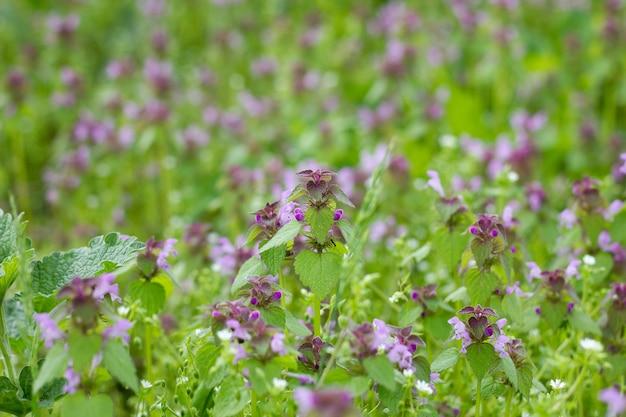 Flores roxas medicinais do campo