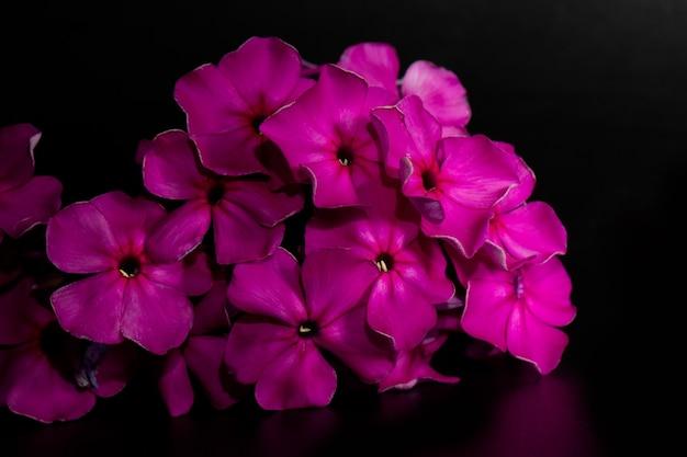 Flores roxas ou rosa de phlox paniculata em um fundo preto. o poster.