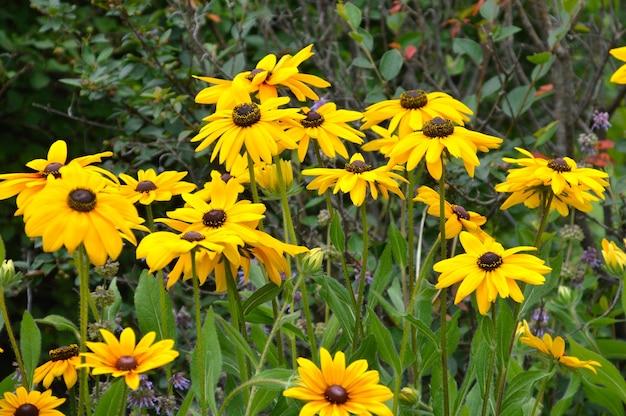 Flores rudbeckia hirta ou susan de olhos pretos