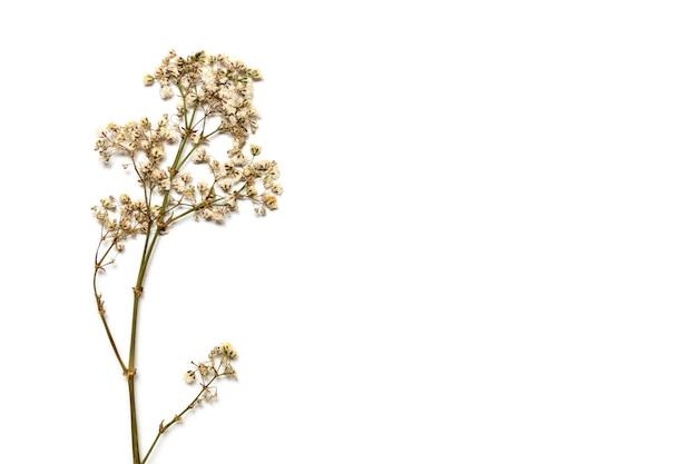 Flores secas de gipsófila em um galho em um fundo branco. espaços em branco para seu projeto.