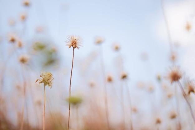 Flores secas de gramíneas no fundo desfocado amd luz solar suave no céu