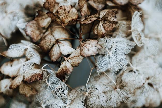 Flores secas de hortênsia. o inverno está chegando.