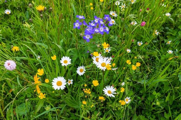Flores selvagens alpinas em um prado alpino nas dolomitas italianas