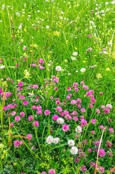 Flores selvagens alpinas no prado