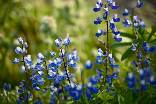 Flores selvagens: lupin azul