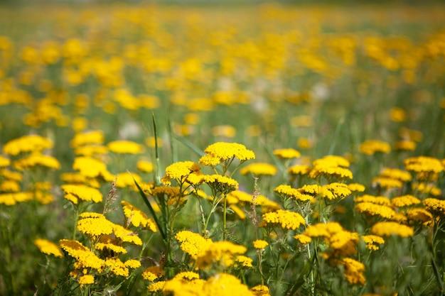 Flores silvestres amarelas no campo