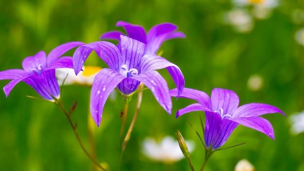 Flores silvestres azuis bluebells na natureza