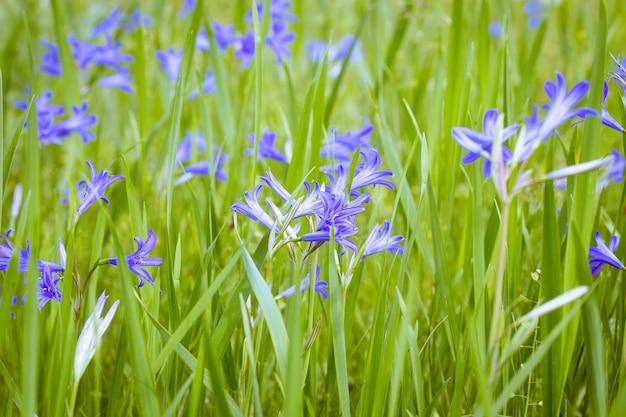 Flores silvestres azuis na grama verde