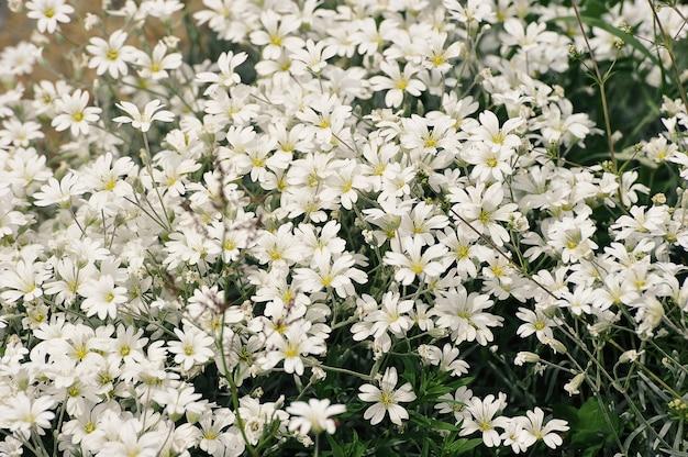 Flores silvestres brancas florescendo em prados de verão