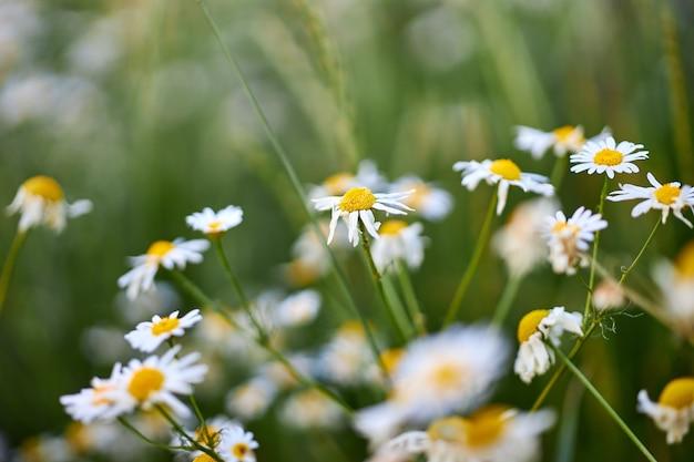 Flores silvestres da camomila, o florescimento de plantas silvestres, flor de ervas