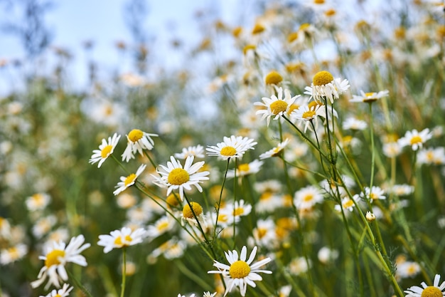 Flores silvestres da camomila, o florescimento de plantas silvestres