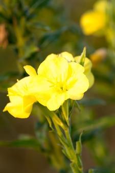 Flores silvestres de prímula da noite de hooker florescendo. prímulas orvalhosas no canteiro de flores do jardim ornamental em um dia chuvoso, conceito de natureza e ervas