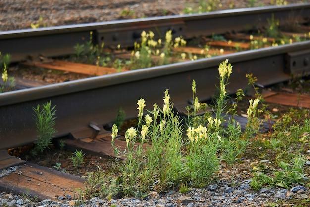 Flores silvestres de toadflax cresceram entre travessas e trilhos em trilhos de trem