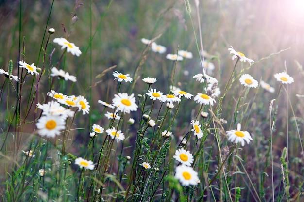 Flores silvestres desabrochando matricaria chamomilla ou matricaria recutita ou camomila. comumente conhecido como camomila italiana, camomila alemã, camomila húngara, camomila selvagem no prado do verão.