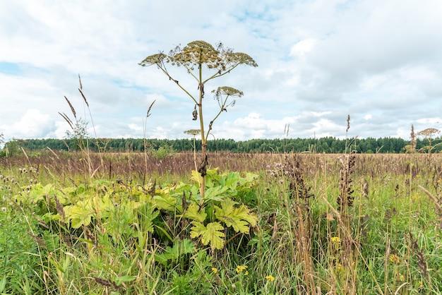 Flores silvestres e ervas daninhas crescendo em plantações ou campos negligenciados. vegetação heracleum, biodiversidade da zona rural e do campo. diversidade da vegetação da vila, arbustos verdes exuberantes e galhos no céu.