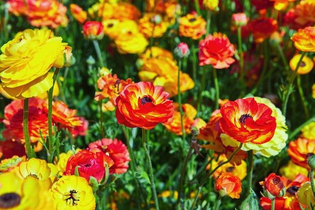 Flores silvestres florescendo, botões de ouro coloridos em um kibutz no sul de israel