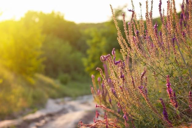 Flores silvestres roxas no pôr do sol, verão flores silvestres