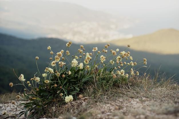 Flores silvestres scabiosa contra vista da montanha