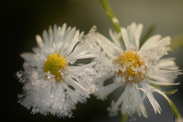 Flores sob a neve. camomila sob a neve