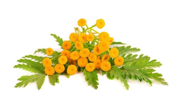 Flores tansy ou tanacetum vulgare, isoladas no fundo branco. planta medicinal à base de plantas.