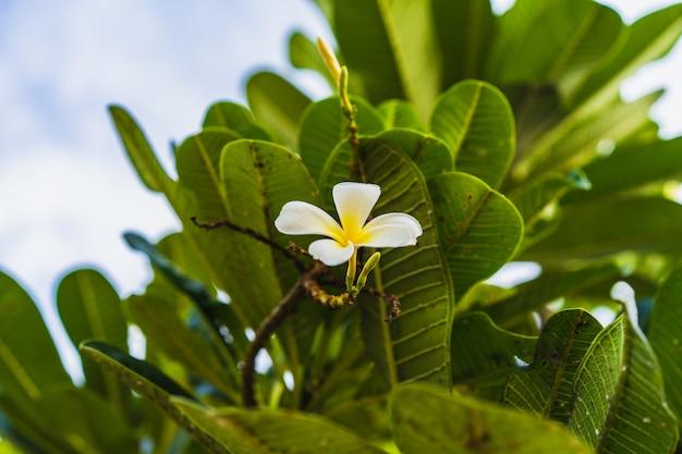 Flores tropicais brancas (plumeria, frangipani) desfolhar na árvore