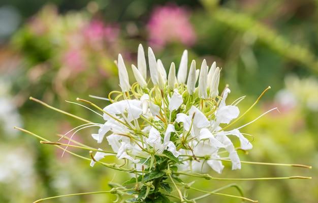 Flores tropicais, cleome branco ou flor de aranha.