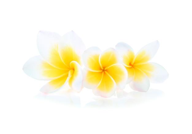 Flores tropicais de frangipani (plumeria) em fundo branco