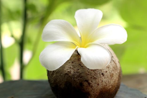 Flores tropicais frangipani branco